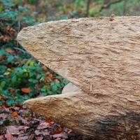 Pfad der Nachhaltigkeit-Thema: Buchen-Altholz mit Naturverjüngung
